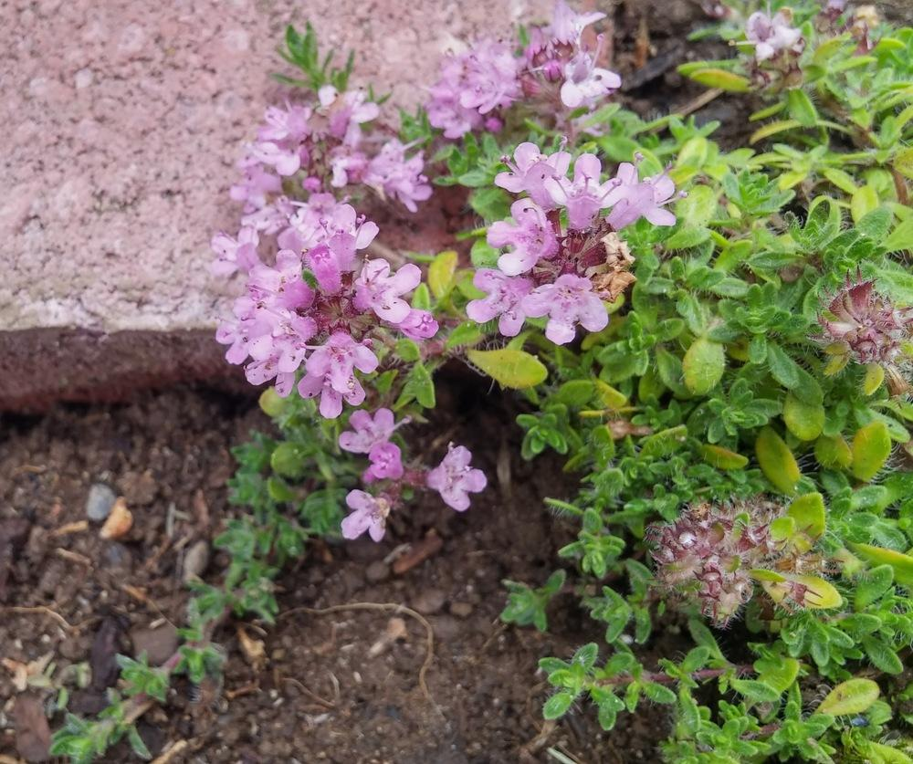 Photo of Wild Thyme (Thymus serpyllum 'Pink Chintz') uploaded by missmaven