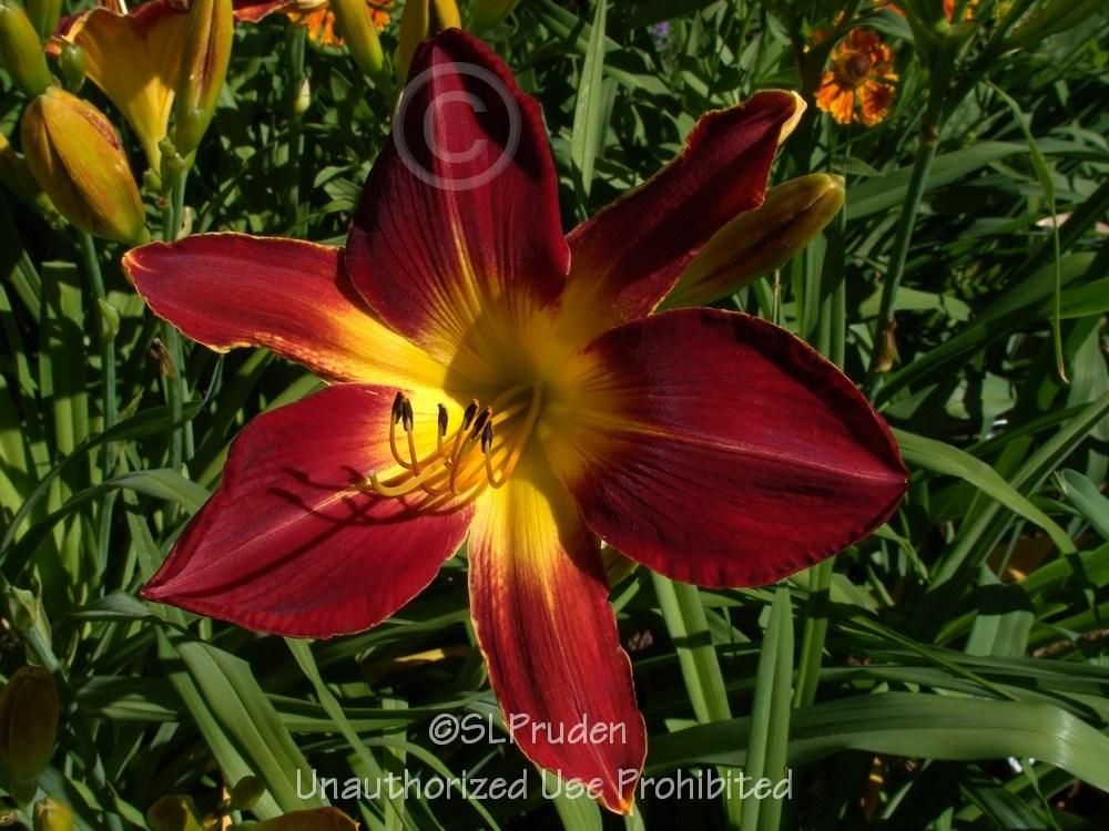 Photo of Daylily (Hemerocallis 'Ruby Spider') uploaded by DaylilySLP
