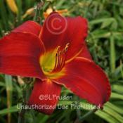 Location: Private Daylily Garden, MI (KMP)Date: 2011-08-04SONY DSC