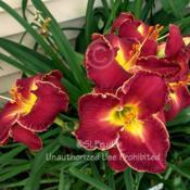 Location: Private Daylily Garden, MI (KMP)Date: 2008-08-03