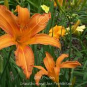 Location: Private Daylily Garden, MI (DKP)Date: 7-2008