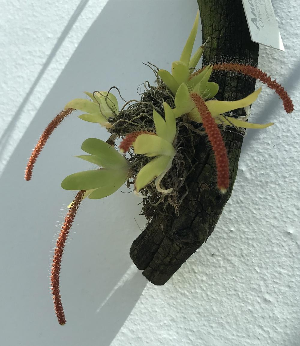 Photo of Orchid (Oberonia toppingii) uploaded by Ursula