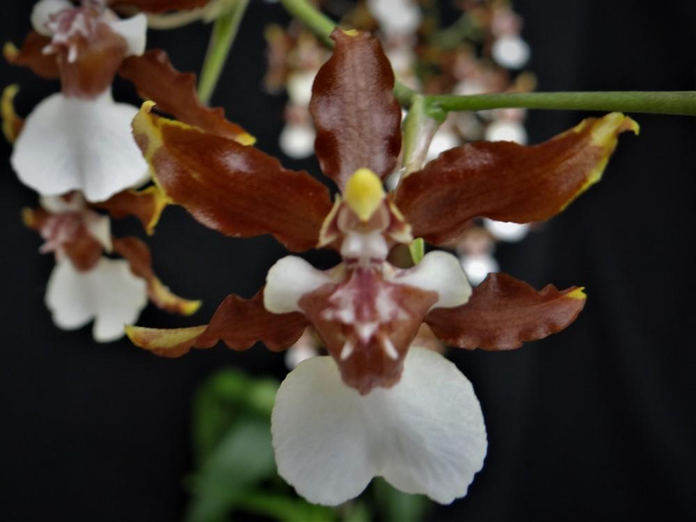 Chocolate Orchid