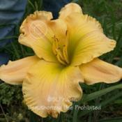 Location: Private Daylily Garden, MI (DKP)Date: 2006-07-21