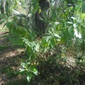 Location: Fern Forest Nature Center in Coconut Creek, FLDate: 2018-03-27wild shrub along path