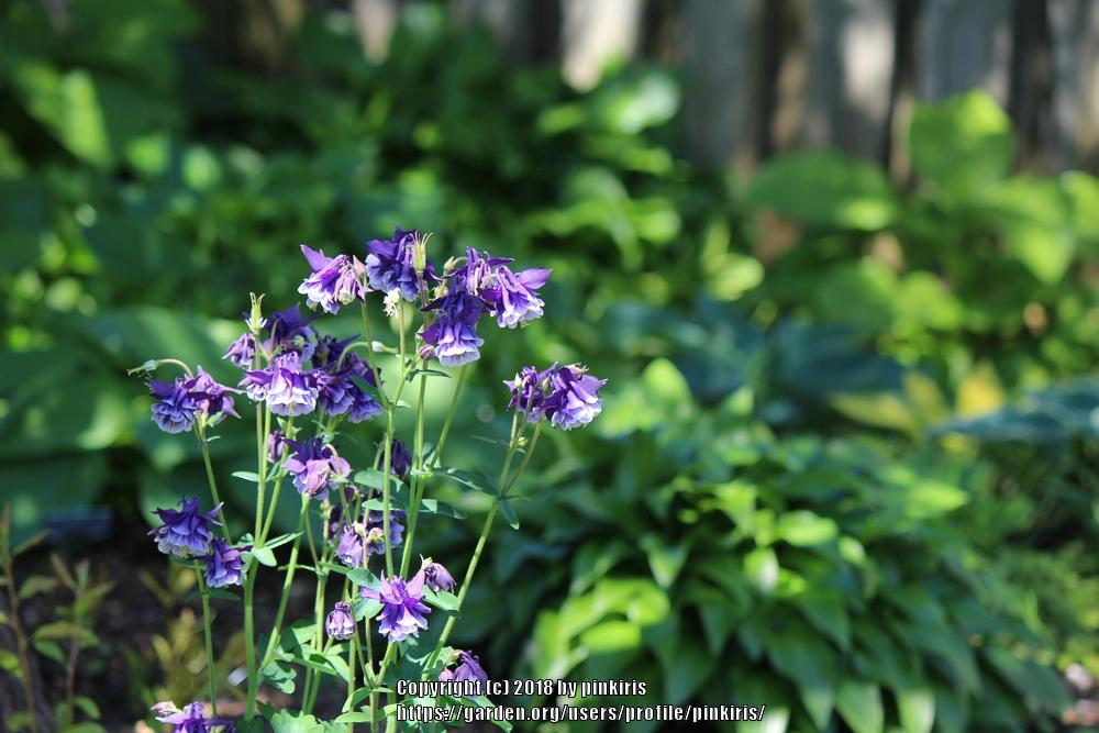 Photo of Columbines (Aquilegia) uploaded by pinkiris