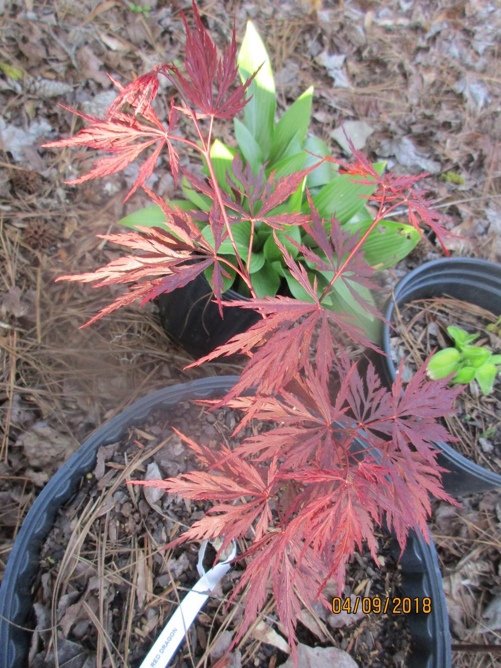 Classifieds And Group Buys Forum Grafted Japanese Maple Liners