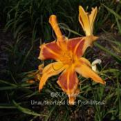 Location: Private Daylily Garden, MI (DKP)Date: 2006-07-28