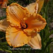 Location: Currie's Daylily Farm, Whitemore, MIDate: 2014-07-11