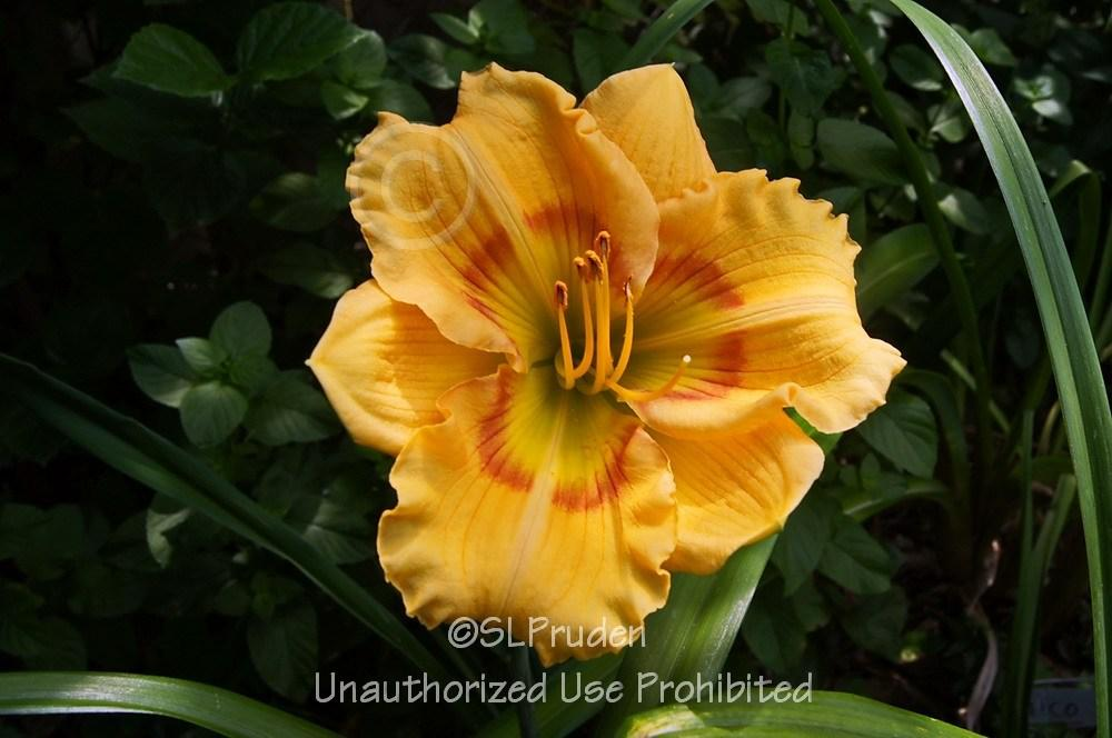 Photo of Daylily (Hemerocallis 'Pumpkin Kid') uploaded by DaylilySLP
