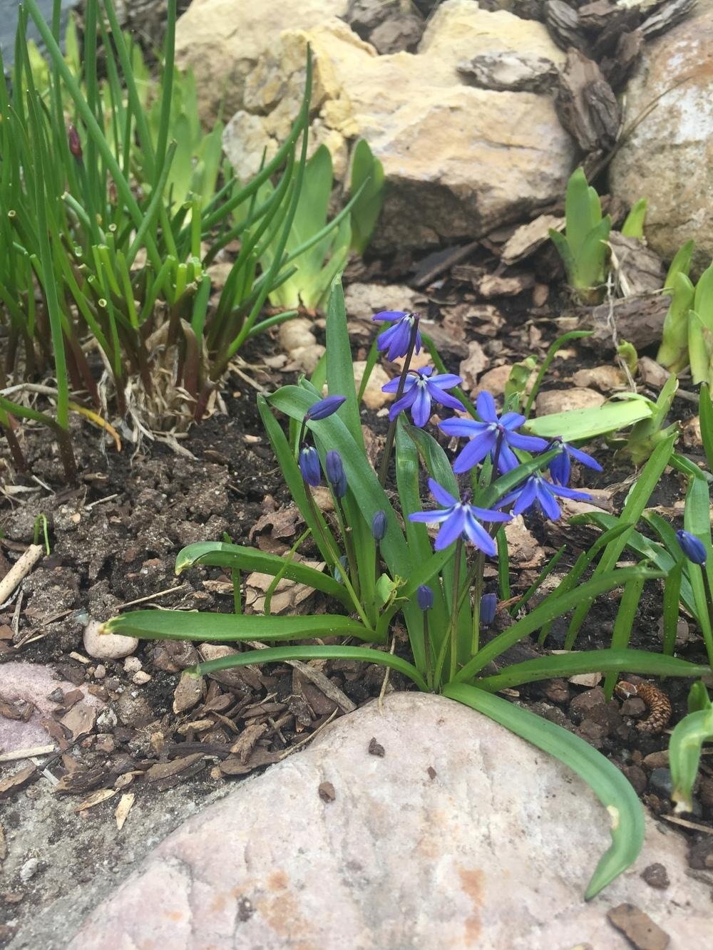 Plant id forum early spring bulb flowers face downward garden thumb of 2018 04 11springgreenthumbdfff3c mightylinksfo