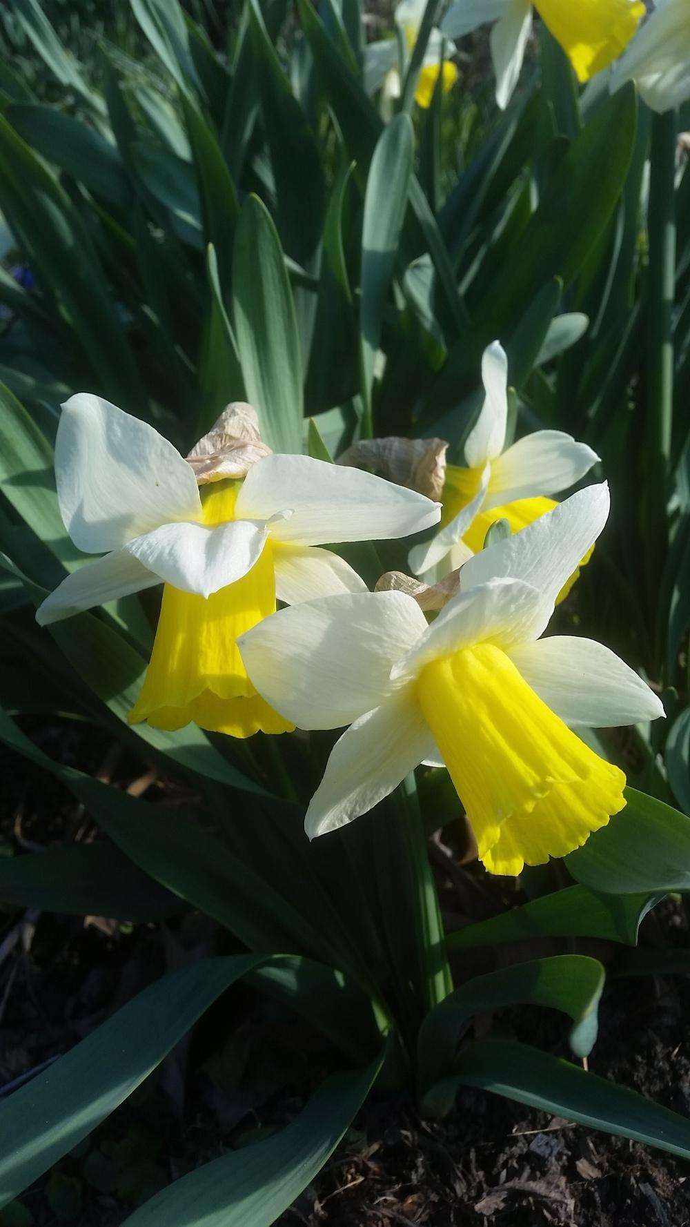 Photo of Trumpet Narcissus (Narcissus 'Bravoure') uploaded by gemini_sage