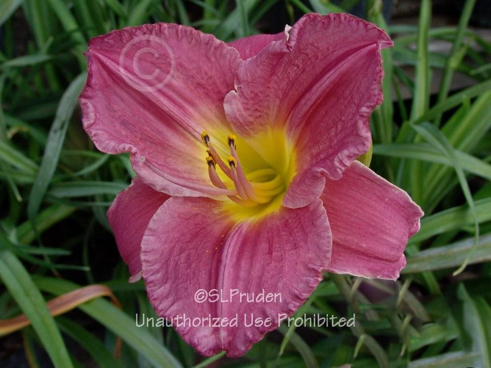 Photo of Daylily (Hemerocallis 'Vera Biaglow') uploaded by DaylilySLP