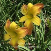 Location: Private Daylily Garden, MI (DKP)Date: 2005-07-20