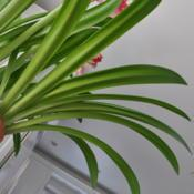 Date: 2018-04-12Beautiful Strappy Amaryllis Leaves