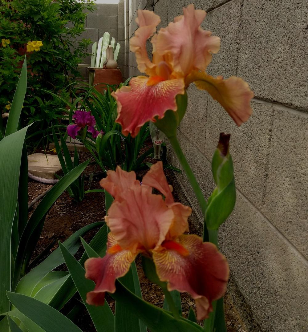 Photo of Tall Bearded Iris (Iris 'Art Show') uploaded by cocoajuno