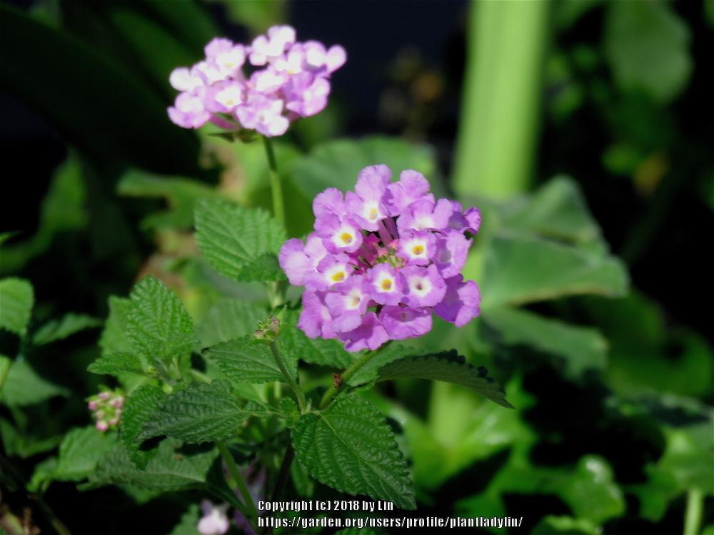 Photo of Lantana uploaded by plantladylin