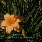Location: Private Daylily Garden, MI (DKP)Date: 2012-07-10