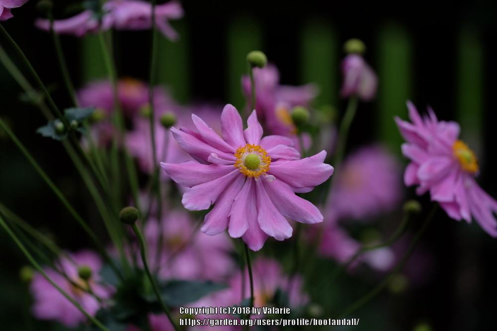 Photo of Japanese Anemone (Anemone 'Bressingham Glow') uploaded by bootandall