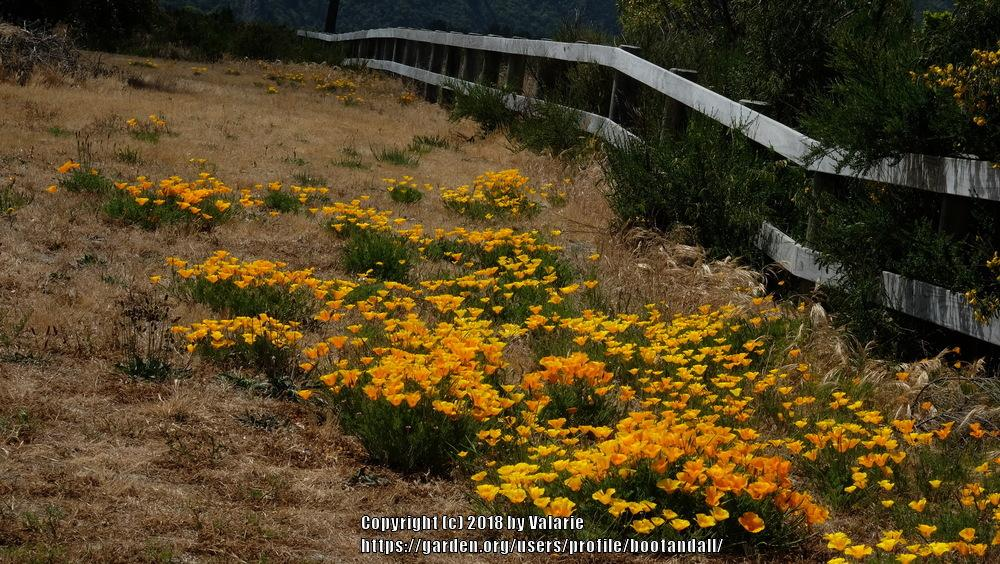 Photo of California Poppy (Eschscholzia californica) uploaded by bootandall