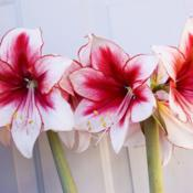 Location: PennsylvaniaDate: 2011-01-03Hippeastrum 'Temptation'