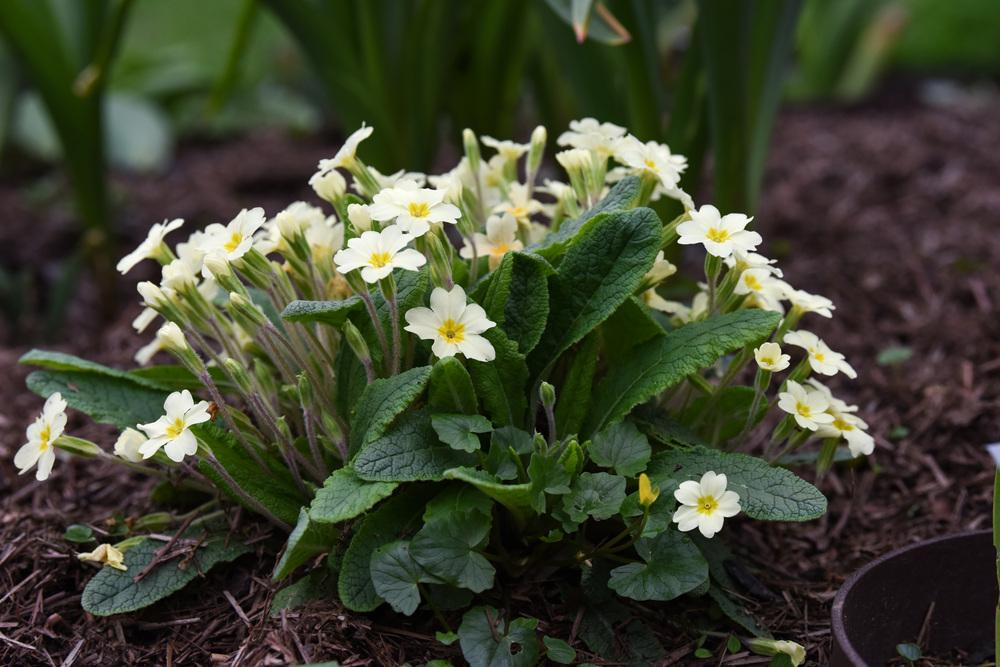 Photo of Primroses (Primula) uploaded by cliftoncat