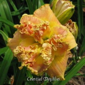 Photo courtesy of Celestial Daylilies