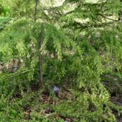 Location: Botanical Gardens of the State of Georgia...Athens, GaDate: 2018-04-13Cedrus deodara - Golden Horizons Deodar Cedar 001