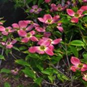 Location: Botanical Gardens of the State of Georgia...Athens, GaDate: 2018-04-13Stellar Pink Dogwood 004