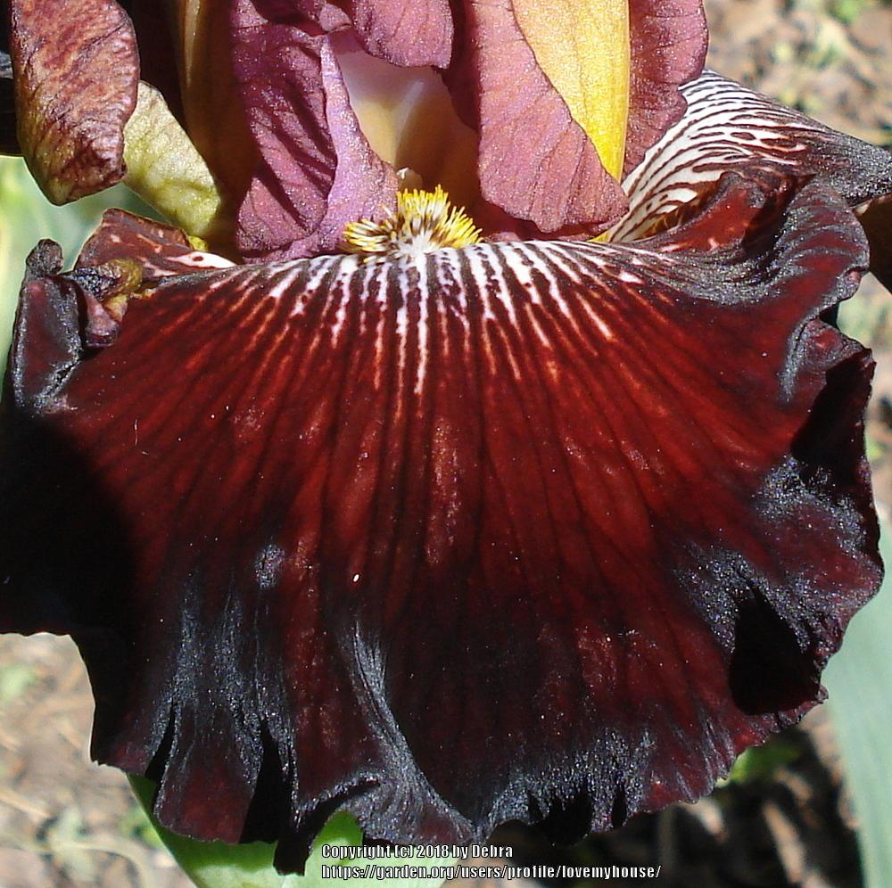 Photo of Tall Bearded Iris (Iris 'Confusione') uploaded by lovemyhouse