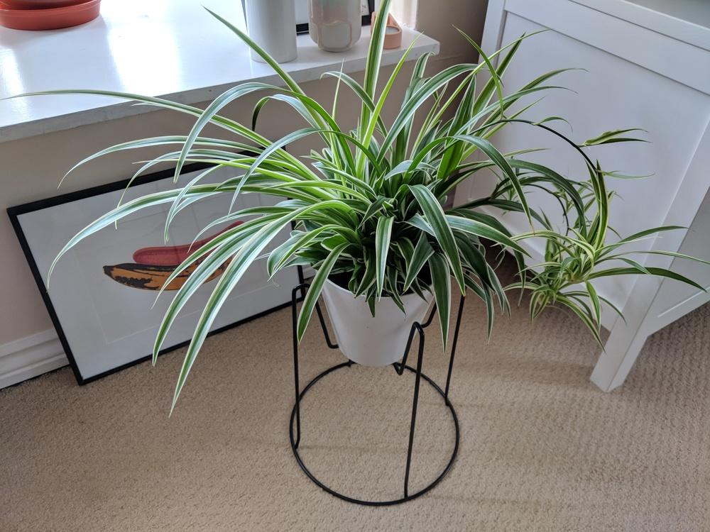 Ask A Question Forum How Long Does It Take For Spider Plant Babies To Grow Roots Garden Org,Best Dishwasher