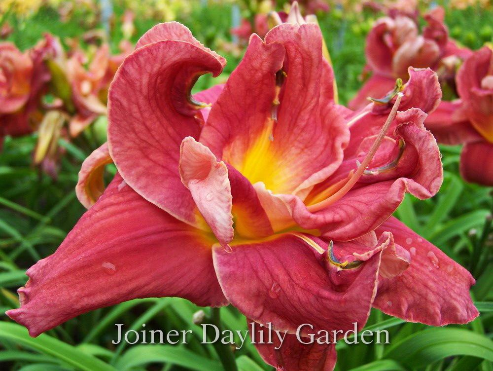 Photo of Daylily (Hemerocallis 'A Legacy from the Heart') uploaded by DaylilySLP