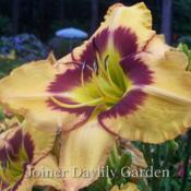 Date: 2007-06-01Photo courtesy of Joiner Daylily Garden