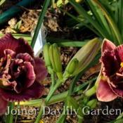 Photo courtesy of Joiner Daylily Garden
