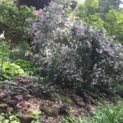 Location: Akron, OHDate: 2017-05-14Mature shrub, always a heavy bloomer