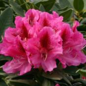 Photo courtesy of Rhododendrons Direct. Used with permission.