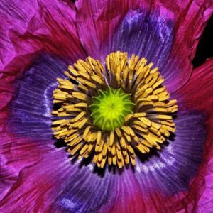 Colors Of Nature - Poppy Center 002