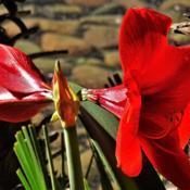 Location: Sun City, ArizonaDate: 2018-04-17Amaryllis bloom at Wooddale Village Assisted Living Fac