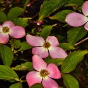 Location: Botanical Gardens of the State of Georgia...Athens, GaDate: 2018-04-18Stellar Pink Dogwood 007