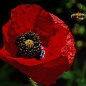 Location: Botanical Gardens of the State of Georgia...Athens, GaDate: 2018-04-18Red Poppy And A Bee 020
