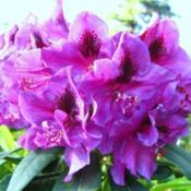 Photo courtesy of Rhododendrons Direct. Used with permi