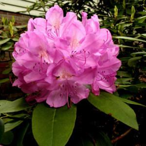 Photo of Rhododendron 'Roseum Elegans' uploaded by Joy