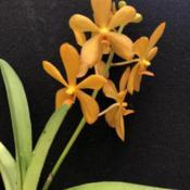 Photo of Orchid (Vanda Bangkhuntian Gold)