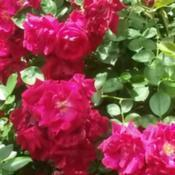 Location: Ralston, OKDate: 2015-05-12climbing rose these get huge