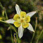 Location: Botanical Gardens of the State of Georgia...Athens, GaDate: 2018-04-21White And Yellow Columbine 001