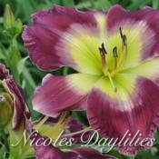 Photo courtesy of Nicoles Daylilies