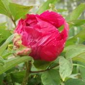 Location: Blaine TNDate: 2018-04-22unknown tree peony