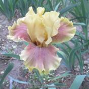 Location: Las Cruces, NMDate: 2018-04-18Iris Grand Canyon Gold