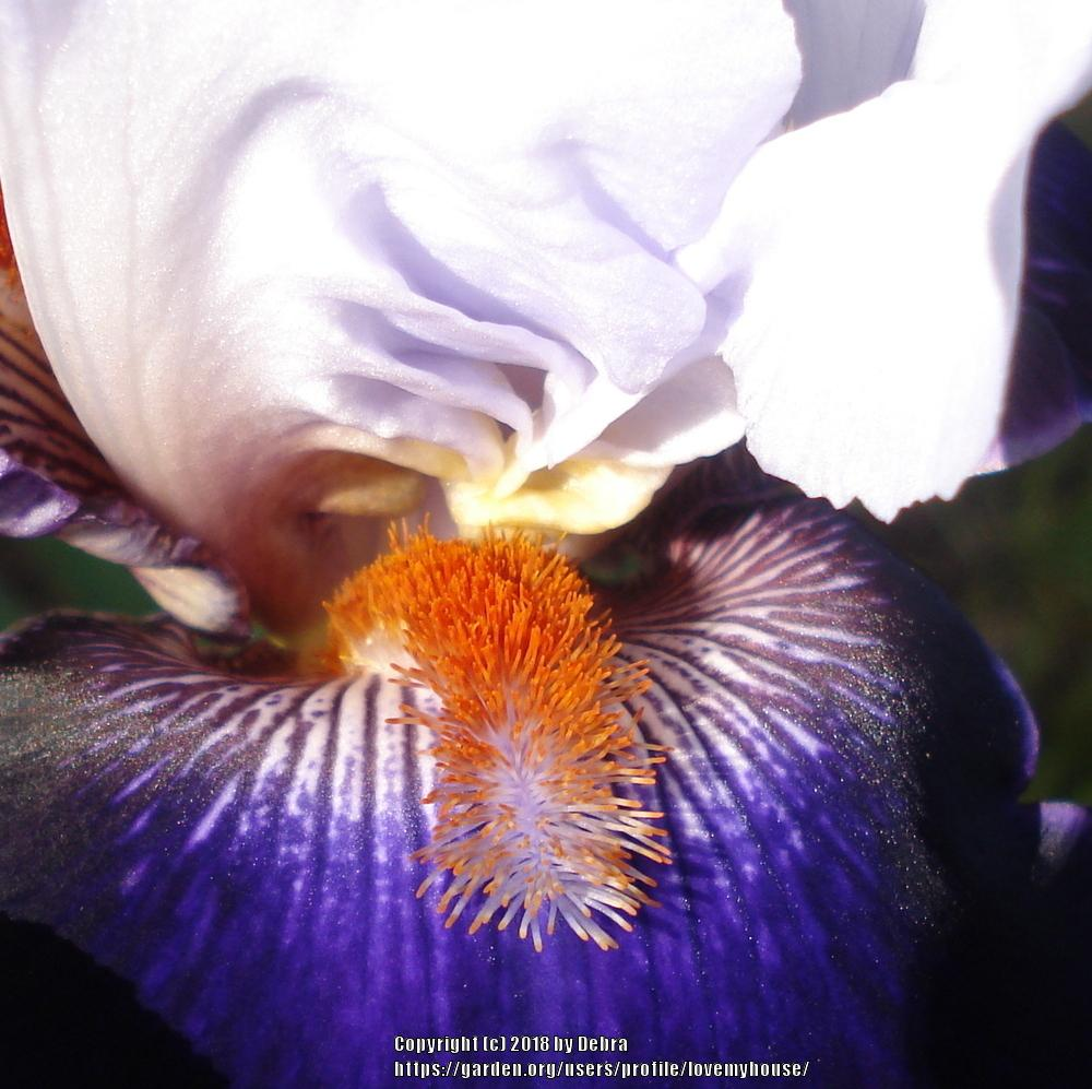Photo of Tall Bearded Iris (Iris 'Long Ways Away') uploaded by lovemyhouse