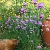Location: My gardenDate: 2018-04-23With Poppy the chicken and chives in foreground